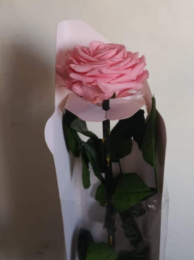 rosa inmortalizada