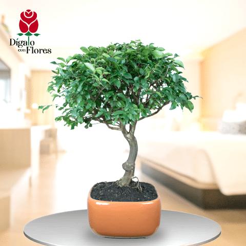 Ficus Banyan Chino-Bonsái