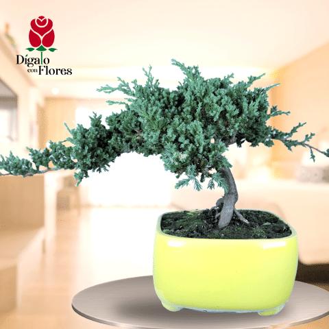 Juniperus Bonsái-Plantas Ornamentales