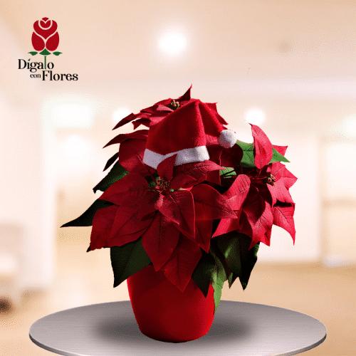 Poinsettia Flor de pascua